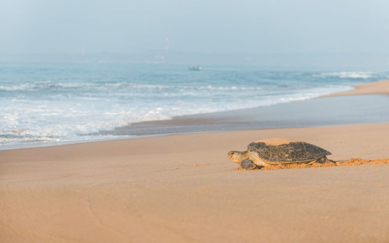 turtle-returning-ocean
